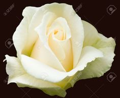 "Creamy White Hybrid Tea Rose, Variety ""Pascali"" Stock Photo ..."