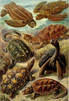 This print by Ernst Haeckel shows a variety of turtle species. From the Leatherback at the top left to the Common Snapping Turtle (bottom right), Haeckel captures them marvelously. This was no attempt at photorealism, however. Note how sea and land (seamlessly) merge in the picture. A great gift for the scientist or marine biologist in your life. All of our prints are beautifully rendered on 13 by 19 professional heavyweight matte photo paper. All images are printed exactly as shown to…