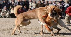 Cárcel para los Promotores de Peleas de Perros