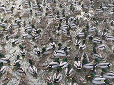 A Paddling of Ducks by R.G.Daniel: Taken in Owen Sound, Ontario, CA. #Ducks #Ontario_CA #R_G_Daniel