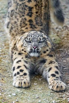 Stretching Snow Leopard