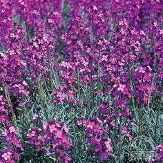 (Wallflower) Erysimum 'Bowles' Mauve' (short-lived perennial). Blooms nonstop spring through fall (sometimes into winter), drought tolerant, evergreen.