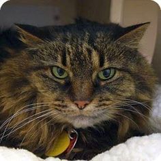 Domestic Longhair Cat for adoption in Denver, Colorado - Aspen