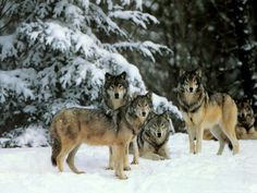 ~♥ Wolves ♥ ~