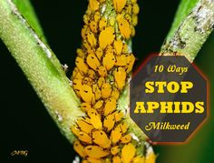 Aphid control is essential if you're growing milkweed plants for monarch butterflies. Here are10 ways to control aphids and save more milkweed for monarchs.