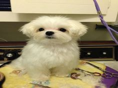 So why are Maltese Haircuts necessary for your Maltese pet? The answer is simple: your your maltese has lots of coat hair that can become matted and tangled. Best Puppies, Cute Puppies, Cute Dogs, Dogs And Puppies, Maltese Haircut, Puppy Haircut, Animals And Pets, Baby Animals, Cute Animals