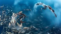 Snapper party, Tony Wu, USWinner, underwater categoryFor several days each month, thousands of two spot red snappers gather to spawn around Palau in the western Pacific Ocean. The action is intense as the fish fill the water with sperm and eggs, and predators arrive to take advantage of the bounty. Noticing that the spawning ran 'like a chain reaction up and down the mass of fish', Wu positioned himself so that the action came to him. On this occasion, with perfect anticipation, he managed…