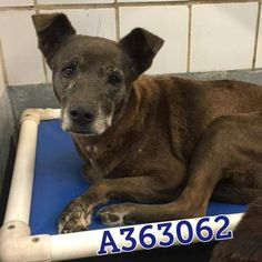 7-15-17 SAN ANTONIO, TX +2 SENIORS NEED FOSTER or ADOPTER! 363062 Ivana & 363051 Jacinto are a couple of quiet dogs who just want to rest. Jacinto is a bit bashful, but will warm up with treats. Ivana is a sweet and loving girl who just wants to go for walks. Jacinto is a lab blend, around 4 years old, and weighs about 50 lbs. Ivana is a ab blend, around 9 years old, 50 lbs.**PAST DEADLINE! Needs Commitment by 9:30AM Monday 7/17!** To adopt, foster, or rescue, please email…