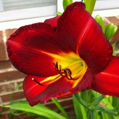 My Red Lily
