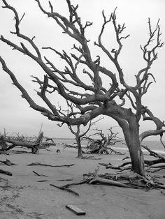 Driftwood Beach, Jekyll Island, Georgia  Morgan and I visited here, also. (June 2013)