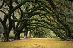 Majestic row of live oak trees covered in Spanish moss.