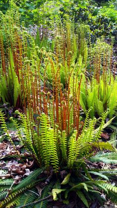Deer fern, Blechnum spicant, in the Pacific Connections Garden at the Washington Arboretum in Seattle, Washington. Woodland Plants, Woodland Garden, Fern Plant, Trees To Plant, Shade Garden, Garden Plants, Deer Fern, Planta Vascular, Townhouse Garden