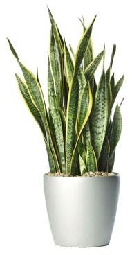 Sansevieria - Mother-in-law's Tongue | Snake Plant. Ambius plants used by Compassion