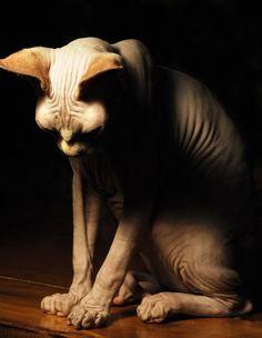 boogeyman by fotoattack (sphynx cat)