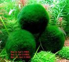 ALL sizes MARIMO MOSS BALLS Cladophora. MARIMO living moss ball suitable for cold or tropical aquariums. Excellent gift for your friend or loved ones to signify everlasting love. The Japanese believe that Marimo will bring good luck. Live Aquarium Plants, Planted Aquarium, Live Plants, Aquarium Fish, Freshwater Aquarium, Fish Aquariums, Tropical Aquarium, Red Cherry Shrimp, Marimo Moss Ball