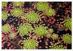 Mosaic Plant by Cindy {K}, via Flickr