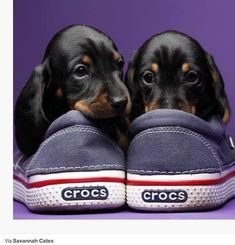 Doxies and Crocs