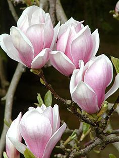 magnolias, thinking of getting a tat with four magnolias one for each child. I dont want color though.