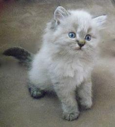 Reign - Beautiful Seal Lynx Point Kitten - Long hair - Non standard Napoleon
