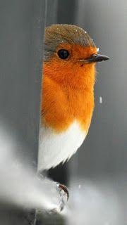 Roodborstje in close up Kinds Of Birds, All Birds, Cute Birds, Pretty Birds, Little Birds, Beautiful Birds, Animals Beautiful, Cute Animals, Funny Birds