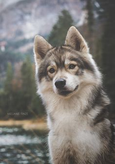 Healthiest Dog Breeds best photos images and picutures ideas about tamaskan puppies - dogs that look like wolves.Healthiest Dog Breeds best photos images and picutures ideas about tamaskan puppies - dogs that look like wolves Cute Puppies, Cute Dogs, Dogs And Puppies, Doggies, Corgi Puppies, Animals And Pets, Baby Animals, Cute Animals, Beautiful Dogs