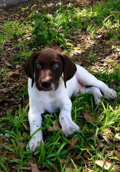 German Shorthaired Pointer Pup ~ Classic Look ~ Really Classic!