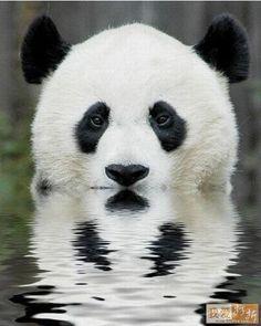 É incrível como as cores branco e preto simplesmente consegue transformar o urso panda em um dos animais mais bonitos do mundo!