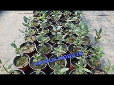 Laurus Nobilis, The Creator, Youtube, Permaculture, Plant, Youtubers, Youtube Movies, Layering