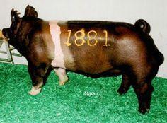 Sieren Swine Farm - Crossbred and Purebred Sows in Keota, Iowa