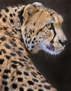 Cheetahs are Cool Big Cats. (by Stinkersmell). Beautiful Cats, Animals Beautiful, Cute Animals, Wild Animals, Baby Animals, Cheetah Pictures, Animal Pictures, Big Cats, Cool Cats