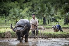 Asian farmer working with his buffalo by Sasin Tipchai - Photo 81883901 - 500px