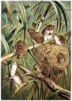 Eurasian harvest mouse.  From Brehms Tierleben (Brehm's animal life) vol. 2, under the direction of Alfred Edmund Brehm, Leipzig & Vienna, 1900.  (Source: archive.org)