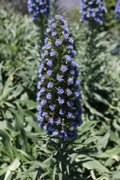 Echiums sure make a statement in the garden...and the bees love them too.