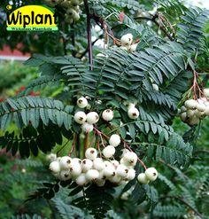 Sorbus koehneana, koreansk rönn. Fina blad, vita bär på hösten. Höjd: 4-10 m.