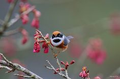 Kingdom Animalia, Red-headed Tit (by Hiyashi Haka)