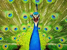 peacock-new-zealand-Brilliant-photography-from-Natgeo-archives