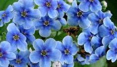 chatham forget me not