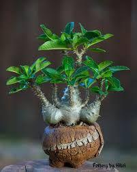 Resultado de imagen de pachypodium en roca bonsai