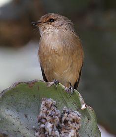 African Dusky Flycatcher (Muscicapa adusta) Nigeria, Sudan, Ethiopia, South Africa