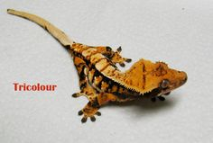 creamscicle crested gecko | Crested Gecko Morphs Gallery.Crested Jungle, Crested Harlequin,Crested ...
