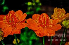 Orange Queen Globe Flower by Mary Machare