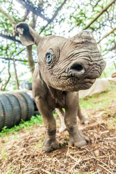 From Africa Geographic: 'It costs Lewa an average of $1,265 per month to pay for Nicky's day-to-day care, veterinary costs and salaries for his keepers. Looking after a baby rhino is not cheap but saving one is priceless.' [AGREED -Ed]