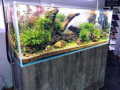(1) Acuario3web (@acuario3web) | Twitter Planted Aquarium, Aquarium Fish, Aquarium Aquascape, Cool Fish Tanks, Tropical Fish Tanks, Tanked Aquariums, Fish Aquariums, Aquarium Pictures, Fish Tank Design