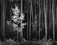 Aspens, Northern New Mexico photo by Ansel Adams, 1958 | #2