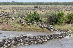 """As in the Serengeti, the wildebeest are the dominant inhabitants of the Maasai Mara, and their numbers are estimated in the millions. Around July of each year, these ungainly animals migrate north from the Serengeti plains in search of fresh pasture, and return to the south around October. The Great Migration of Serengeti and Masai Mara was named by the American television show Good Morning America and newspaper USA Today as one of the """"New Seven Wonders""""."""