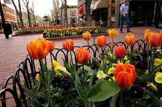 Spring Tulips on Pearl Street