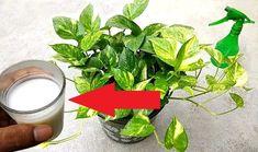 Domáce hnojivo: Tipy, ako si ho vyrobiť zo zemiakov, droždia a mlieka Spinach, Ale, Vegetables, Plants, Ale Beer, Vegetable Recipes, Plant, Veggies, Ales