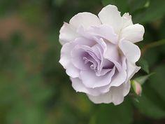 Rose, Misty Purple, バラ, ミスティ パープル, | by T.Kiya