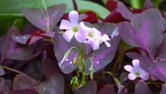 Growing oxalis indoors and out - Purple Shamrock Flower (Oxalis regnellii) . Photo by BS Thurner Hof via Wikimeida Commons Shamrock Plant, Purple Shamrock, Tiny White Flowers, Brown Flowers, Beautiful Flowers, Pink Flowers, Jade Plant Pruning, Planting Succulents, Flowers