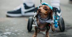 """Este perrito participió en una carrera de beneficiencia, en la que se apoyan a animales con discapacidades. Lo asombroso de este suceso, es que corrió con su silla de ruedas. Generando automáticamente una gran empatía con todos los espectadores, y que seguramente también la sentirás. Nos demuestra como todo es posible para los animales y parace no haber limite para ellos. La carrera se llama """"Anderson Pooper"""", y puedes visitar su Facebook…"""